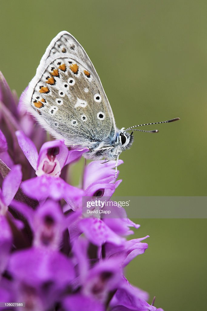 Female common blue butterfly (Polyommatus icarus) resting on a southern marsh orchid (Dactylorhiza praetermissa), Dawlish Warren Nature Reserve, Devon, England : Stock Photo