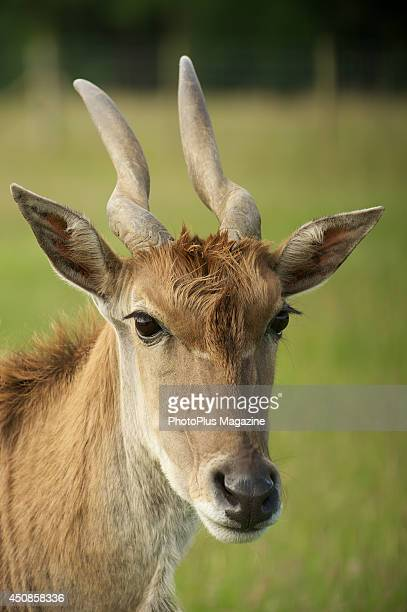 A female Common Eland antelope grazing at Knowsley Safari Park in Merseyside taken on July 5 2012
