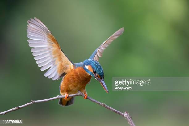 female common kingfisher balancing - kingfisher stock pictures, royalty-free photos & images