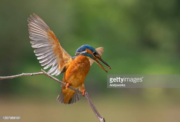 female common kingfisher - perching stock pictures, royalty-free photos & images