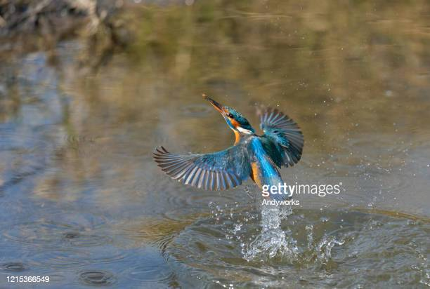 female common kingfisher - appearance stock pictures, royalty-free photos & images