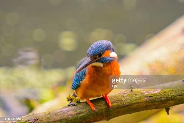 Female Common Kingfisher sitting on a branch overlooking a small pond