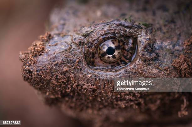 Female Common Snapping Turtle (Chelydra serpentina)