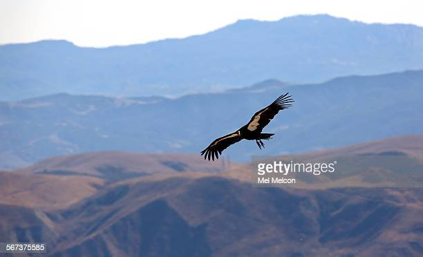 A female condor takes to the sky above the Hopper Mountain National Wildlife refuge north of Fillmore after being released from a kennel by Joseph...