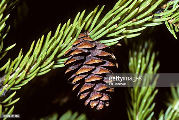 Female cone of Red Spruce, Picea rubens, Wilderness State Park, Michigan, USA