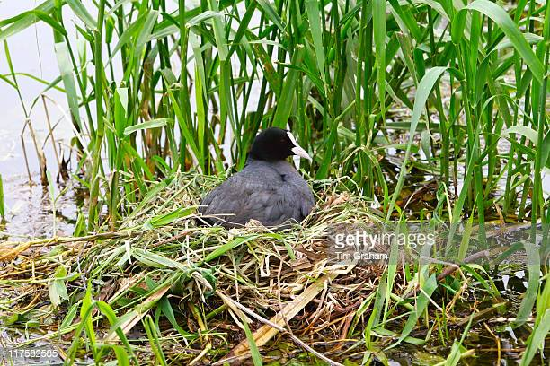 Female coot on her nest among reeds on a river in the Cotswolds Gloucestershire