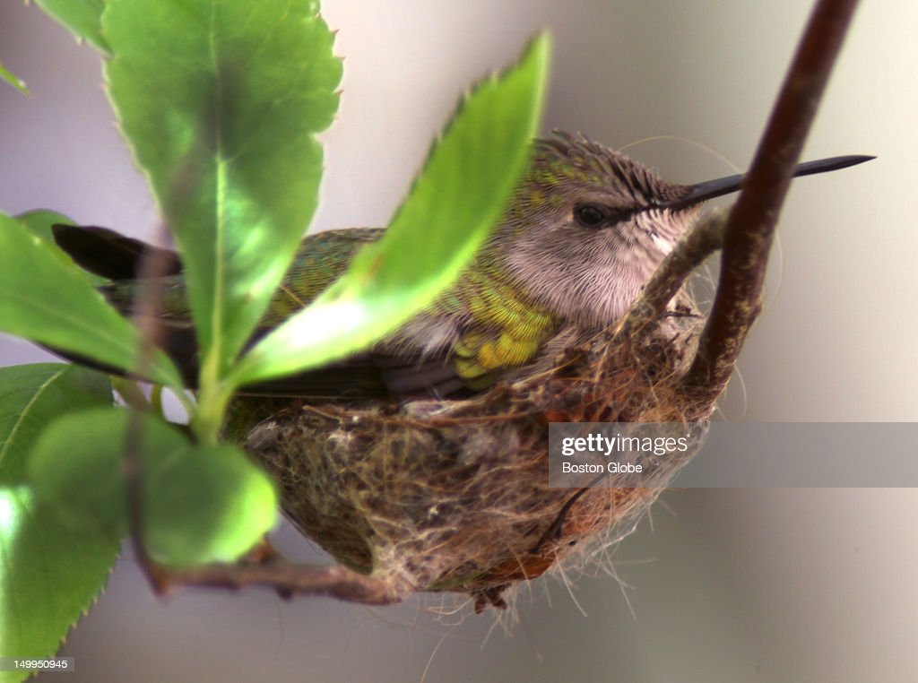 Female Costa's Hummingbird Sits In Her Nest : News Photo