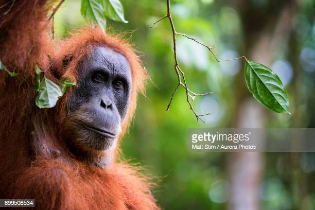 A female critically endangered Sumatran Orangutan pauses for a brief moment while climbing a tree in search of figs.