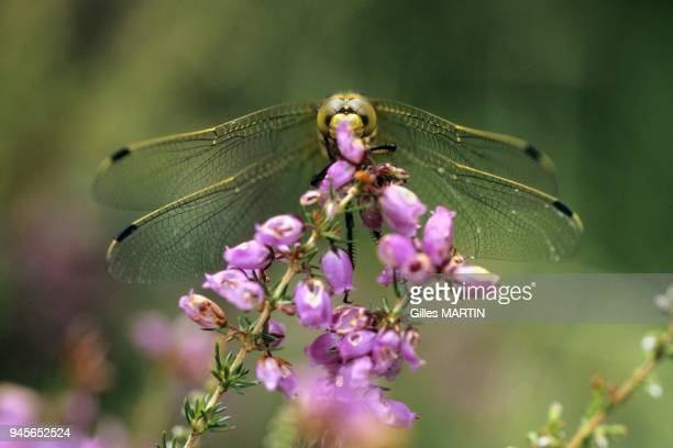 157 to 197 inches Wingspread 295 to 354 inches The male is predominating blue and female yellow In spring like all the dragonflies larva of the...
