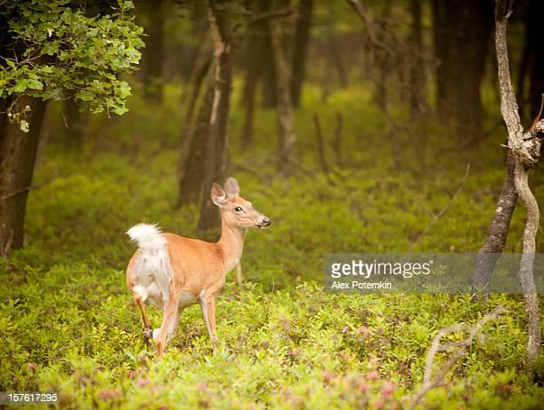 femmina cervi nella foresta - femmina di daino foto e immagini stock