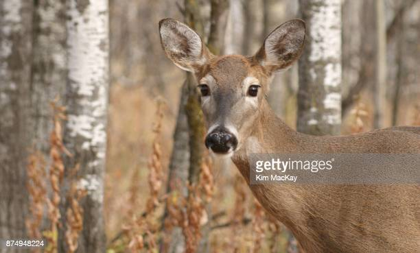 Female deer looking at camera, fall colors, forest