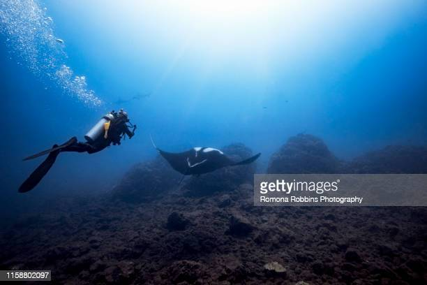 female diver filming giant oceanic manta ray, two scalloped hammerheads in background, revillagigedo islands, socorro, baja california, mexico - undersea stock pictures, royalty-free photos & images