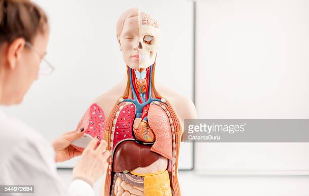 female doctor teaching using anatomical model - anatomical model stock pictures, royalty-free photos & images