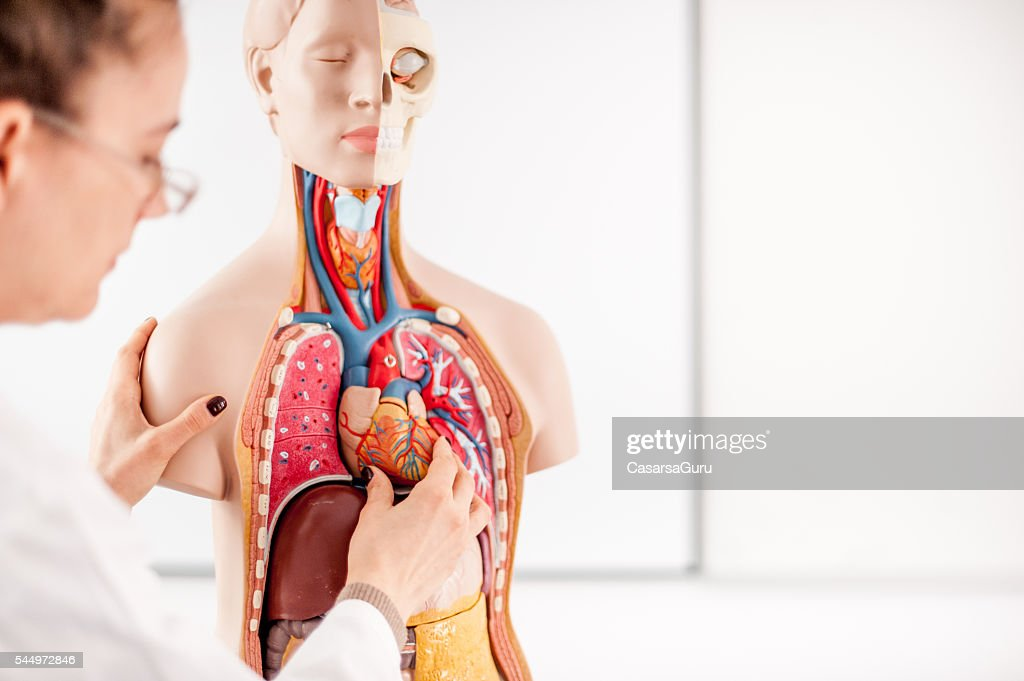 Female Doctor teaching using Anatomical model : Stock Photo