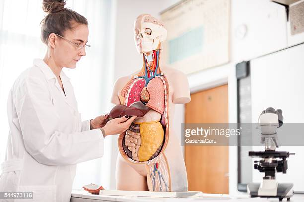 female doctor teaching using anatomical model - human liver stock photos and pictures