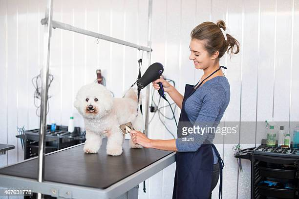 female dog groomer brushing a  bichon frise dog