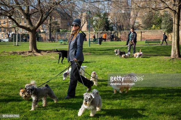 Female dog walker out walking 7 dogs on leads in Harmsworth Park outside the Imperial War Museum, London, United Kingdom.