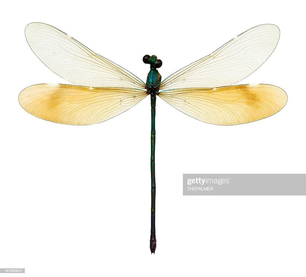 female dragonfly taxidermy : Stock Photo
