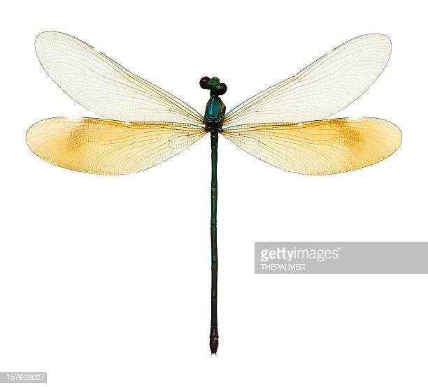female dragonfly taxidermy