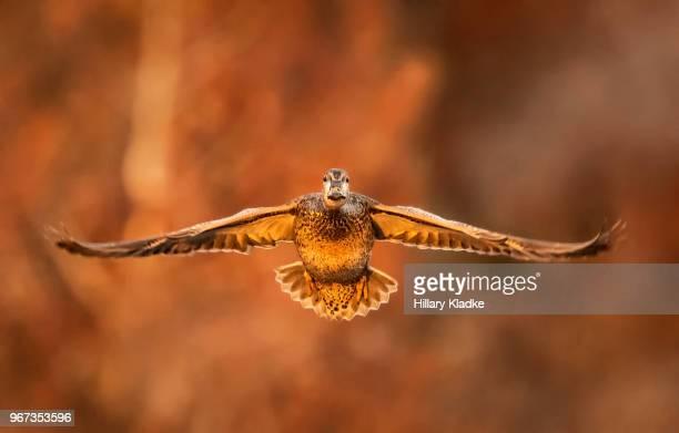 female duck at sunset - germano reale foto e immagini stock