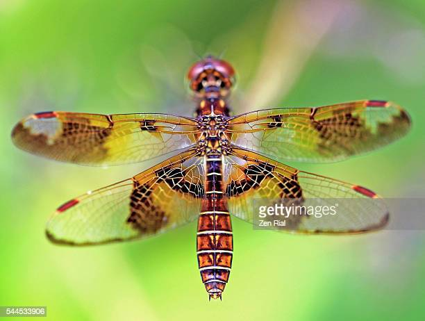 Female Eastern Amberwing Dragonfly shows dorsal side in macro