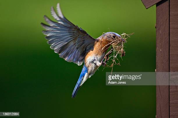 female eastern bluebird bringing nest material - eastern bluebird stock pictures, royalty-free photos & images