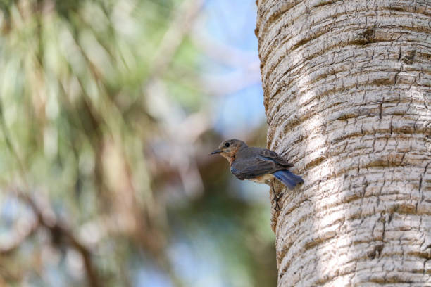 Female Eastern Bluebird Sialia Sialis Perches On The Trunk Of A Tree In Naples, Florida