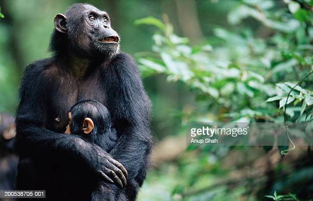 female eastern chimpanzee (pan troglodytes schweinfurthii) with young - chimpanzee stock pictures, royalty-free photos & images