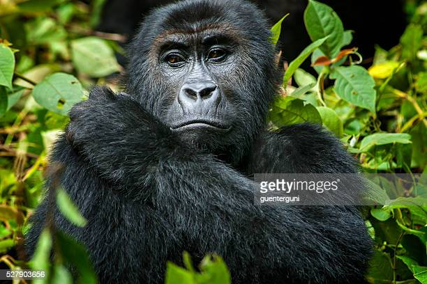 female eastern lowland gorilla in congo, wildlife shot - rare stock pictures, royalty-free photos & images