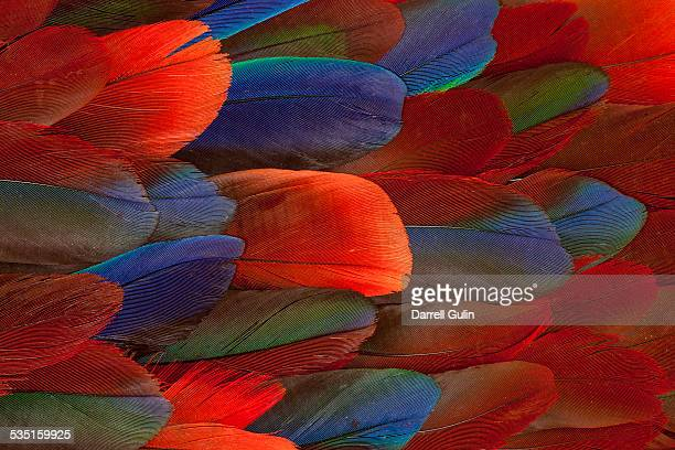 Female Eclectus Parrot feather design