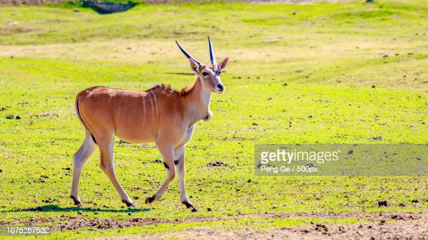 female eland antelope - springbok deer stock photos and pictures