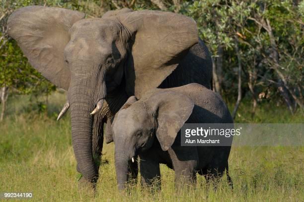 female elephant and calf - swaziland fotografías e imágenes de stock