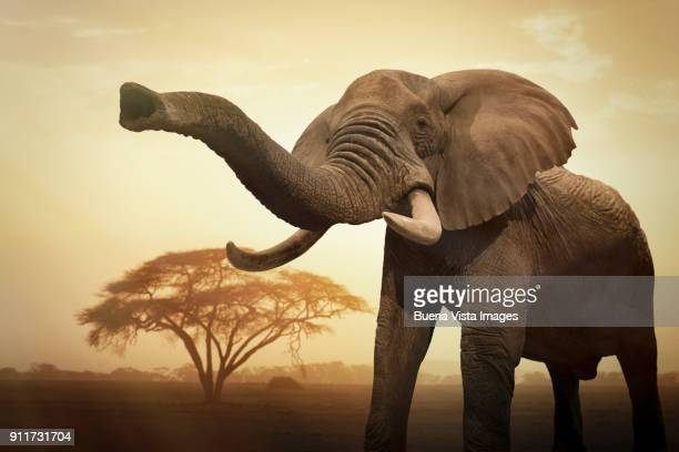 Female elephant at sunset