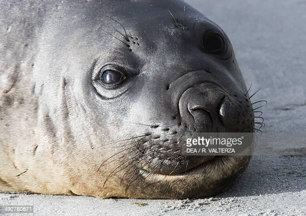 Female Elephant seal Phocidae Elephants Corner Isle of Sea lions South coast Falkland Islands United Kingdom