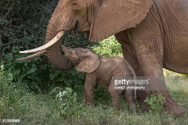 Female Elephant with Calf