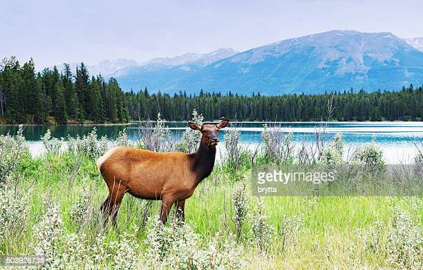 Female elk standing  near the lake, Jasper National Park,Canada