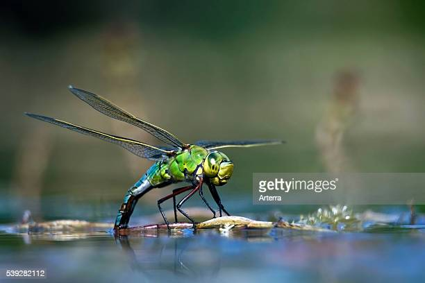 Female Emperor Dragonfly / Blue Emperor laying eggs in water of pond