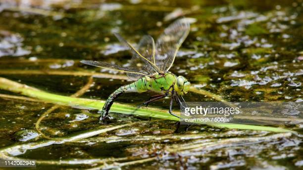 female emperor ovipositing at fores - forens stock pictures, royalty-free photos & images