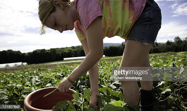 A female employee picks string beans at the Clear Brook Organic Farm August 3 2011 in Shaftsbury Vermont The 200plus acre farm was started in 1995 by...