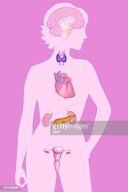 Epiphysis Pineal Body Hypothalamus Hypophysis Thryroid Gland Thymus Suprarenal Glands Pancreas Ovaries See Images 0788907 For Other Colors 0789407...