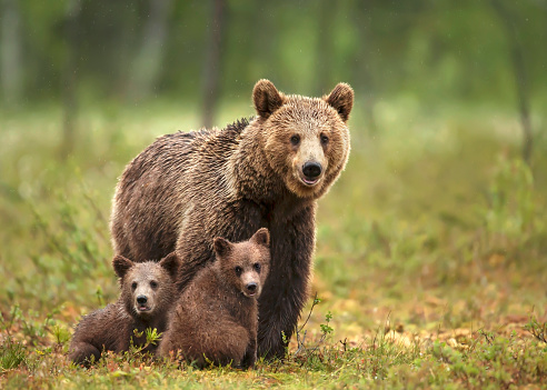 Female Eurasian brown bear and her cubs in boreal forest 1157179233