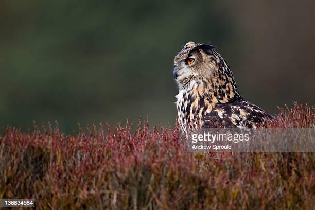 Female Eurasian Eagle-Owl (Bubo bubo).