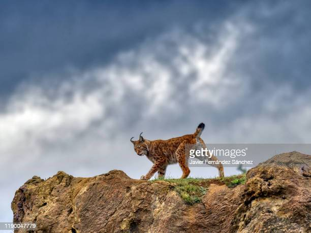 a female eurasian lynx walking on a rock, contrasting her silhouette against the background of the sky with storm clouds. lynx lynx. - lynx photos et images de collection