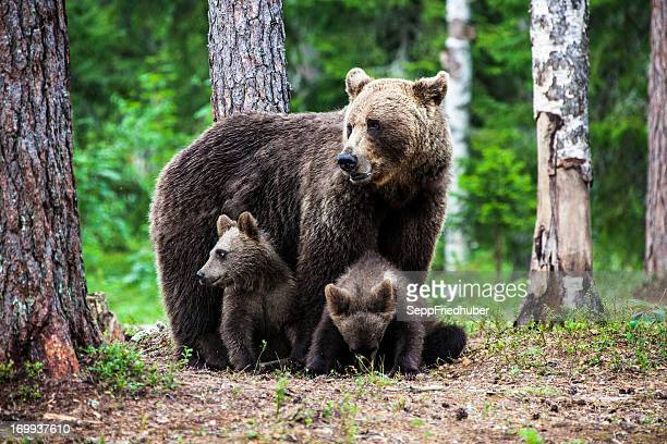 female european brown bear with cubs - bear cub stock pictures, royalty-free photos & images