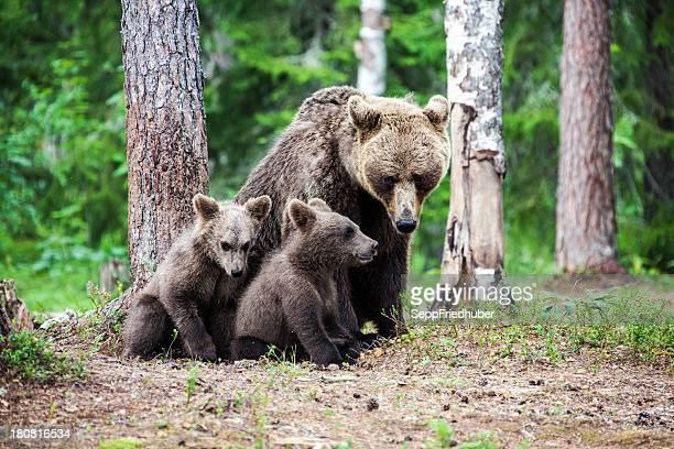 Female european brown bear with cubs