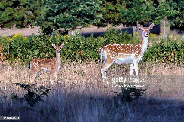 female fallow deer and young - biche photos et images de collection