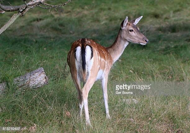 female fallow deer - femmina di daino foto e immagini stock