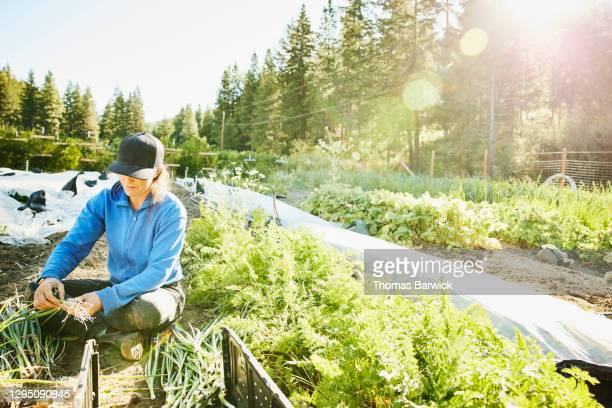 female farm owner harvesting organic green onions on summer morning - washington state stock pictures, royalty-free photos & images
