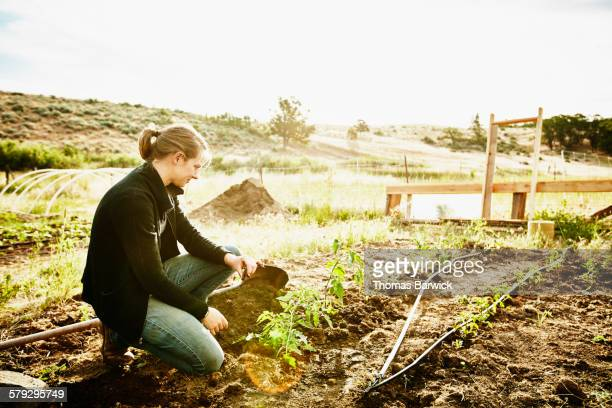 Female farm owner in garden planting tomato plants