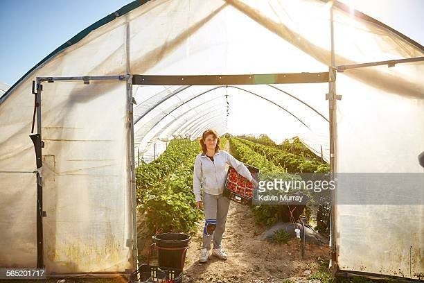 a female farm worker holds a crate of strawberries - environmental issues stock pictures, royalty-free photos & images